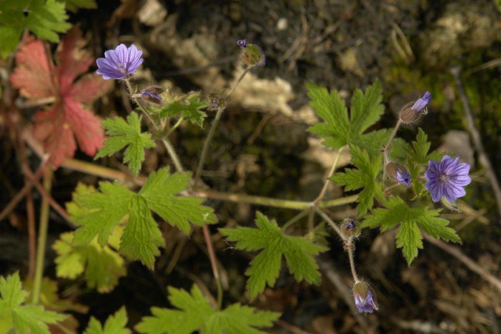 Frøene til bråtestorkenebb kan ligge lenge i jorden og spirer først etter brann.