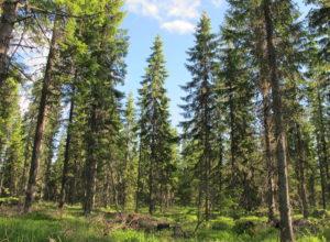 Fersk rapport om bærekraftig skogbruk