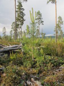 Frøtrær og naturlig foryngelse av furu. Foto: Hans Asbjørn K. Sørlie.
